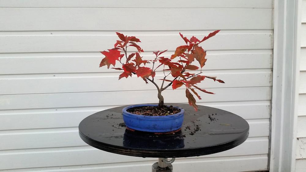 Red Oak 4