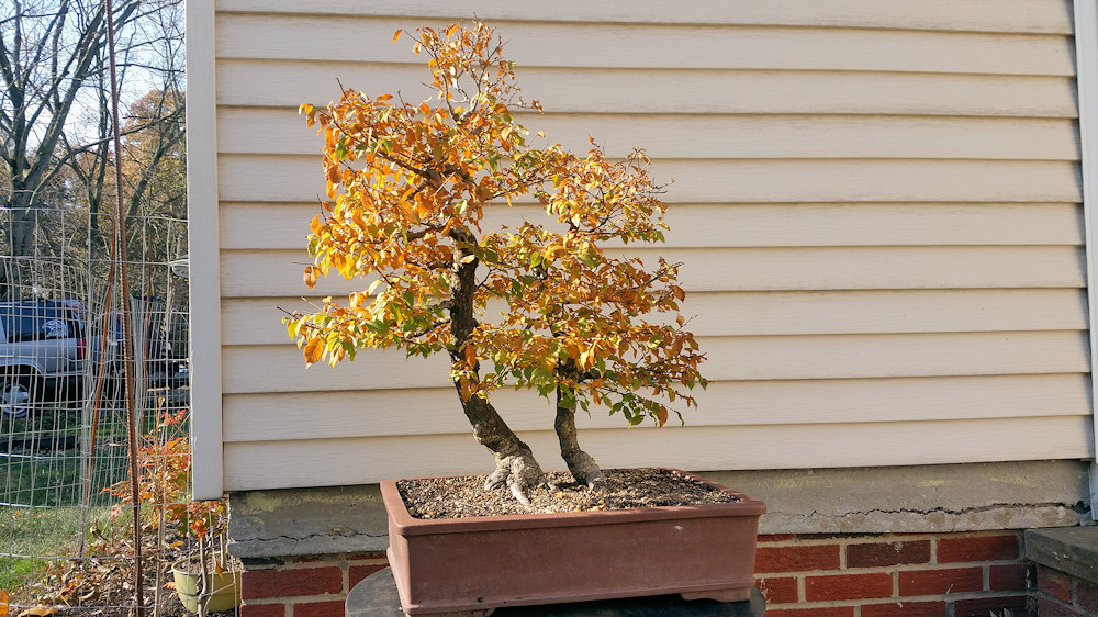 Smooth Leaf Elm-Front