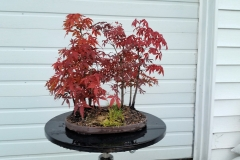 Atropurpurum Maple Group1