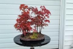 Atropurpurum Maple Group1