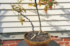 Fall 2018 Bonsai 057