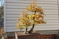 Smooth Leaf Elm-Back