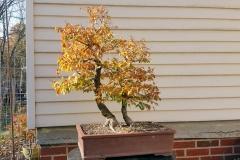 Smooth Leaf Elm-Front