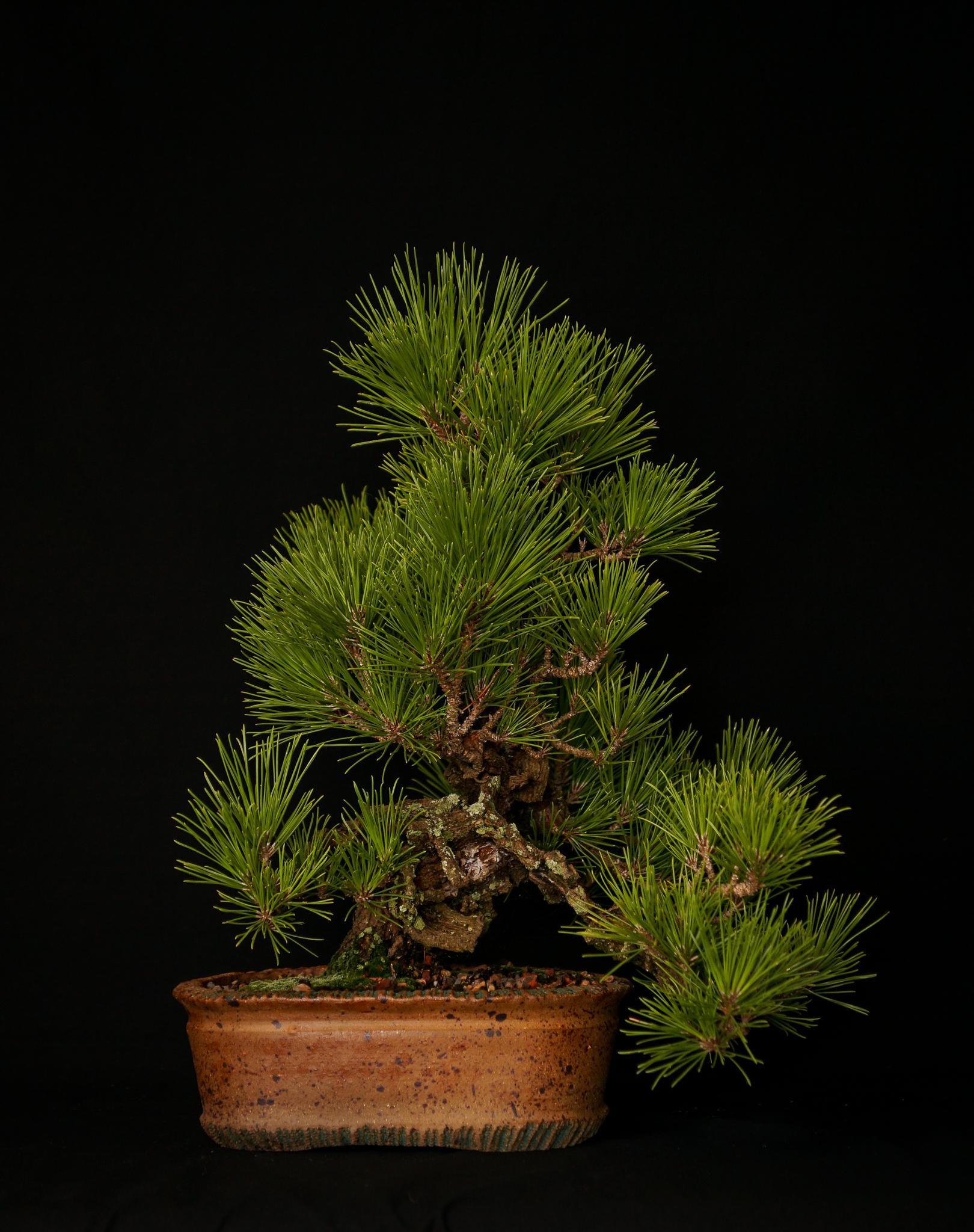 "Cork Bark Black Pine ""Nishiki Matsu"""