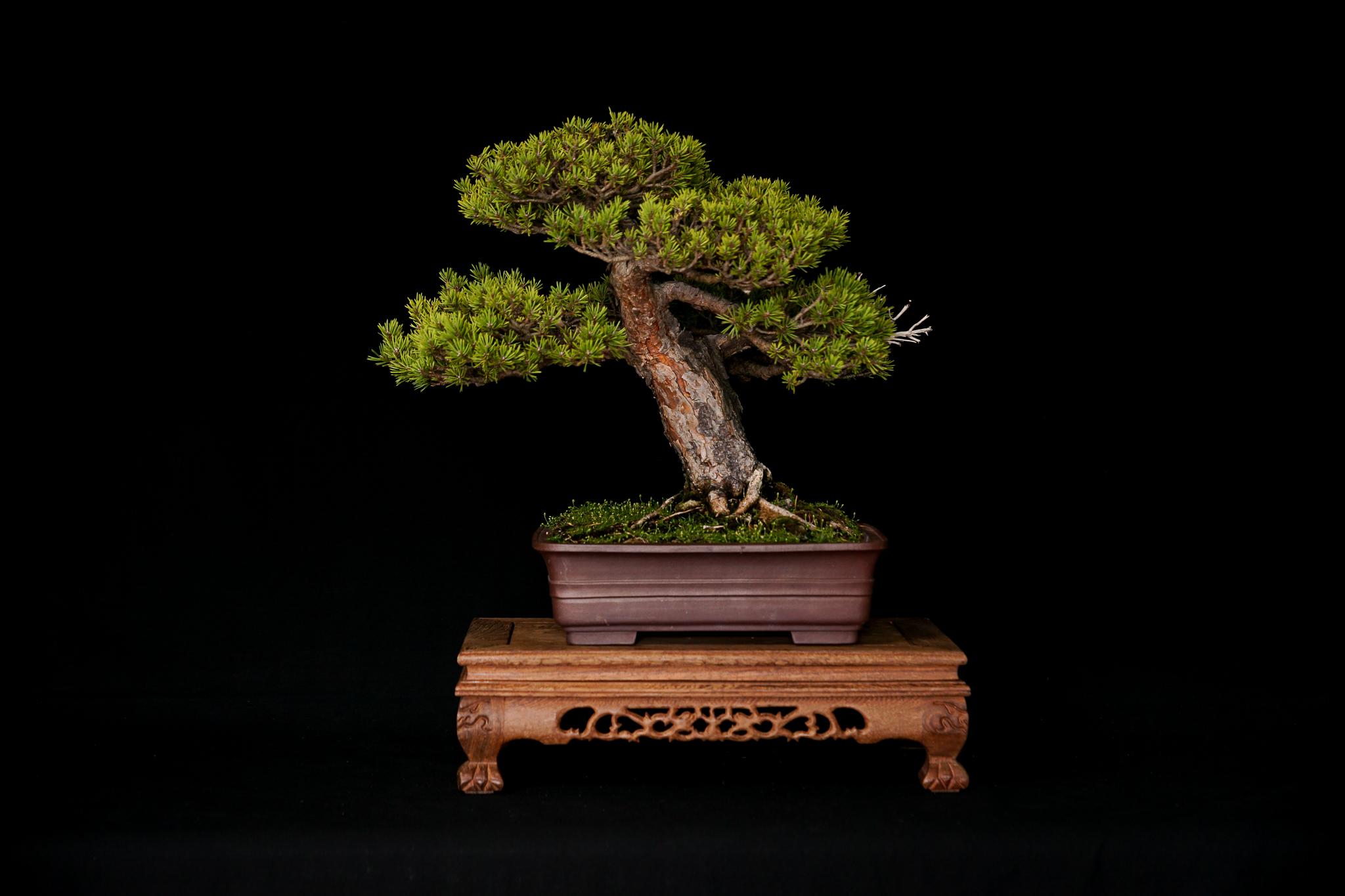Dwarf Scots Pine