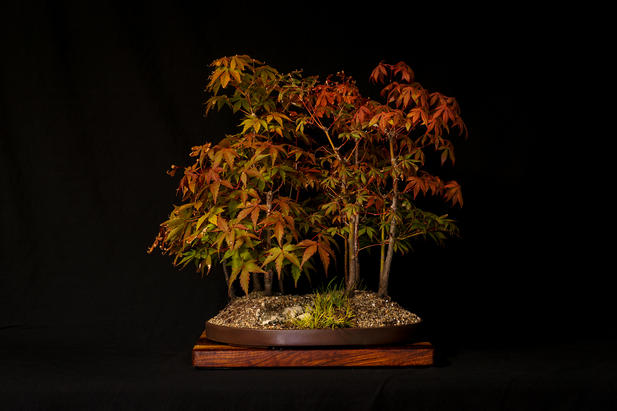 Atropurpureum Japanese Maple Forest