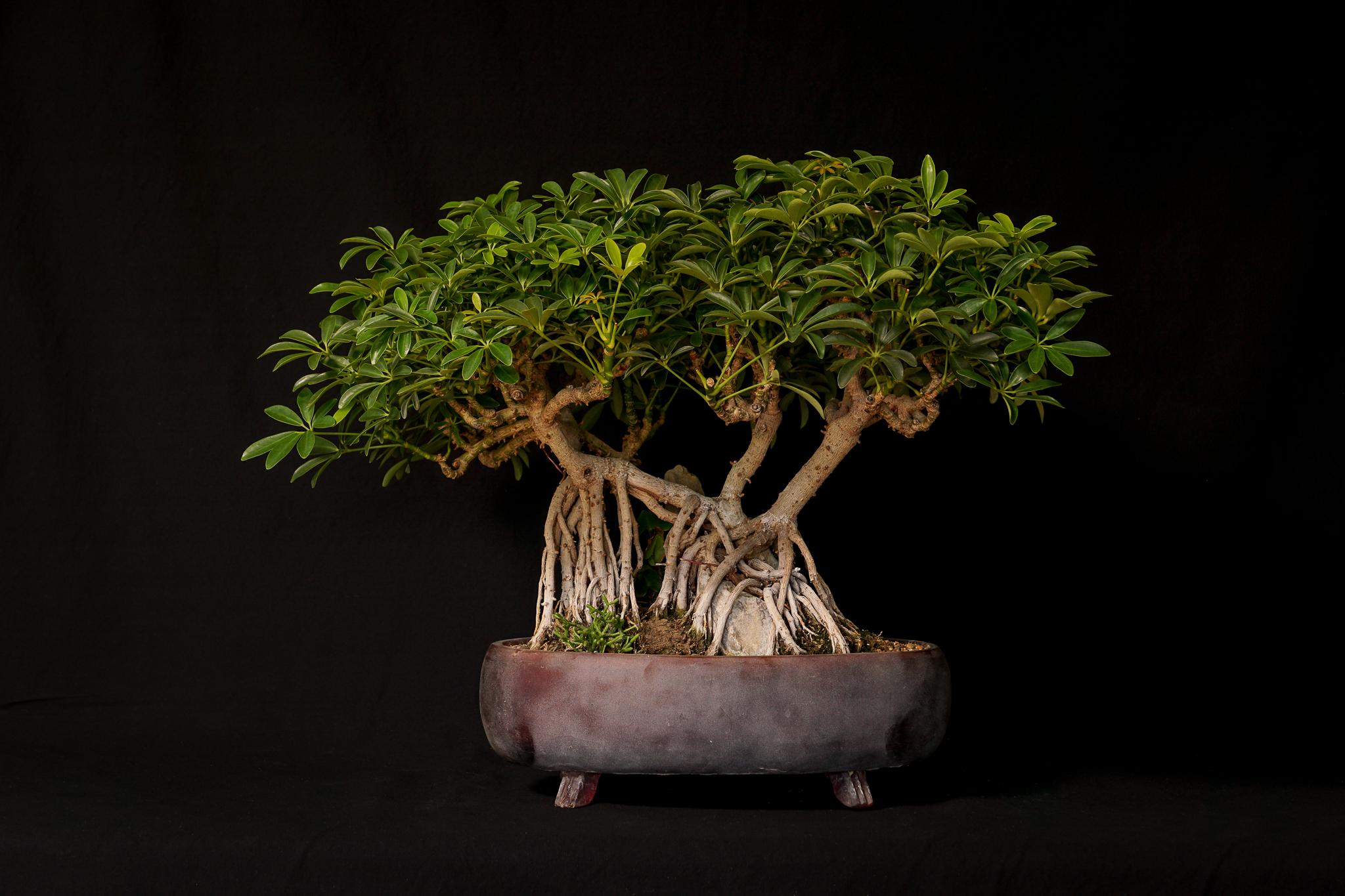Hawaiian Schefflera