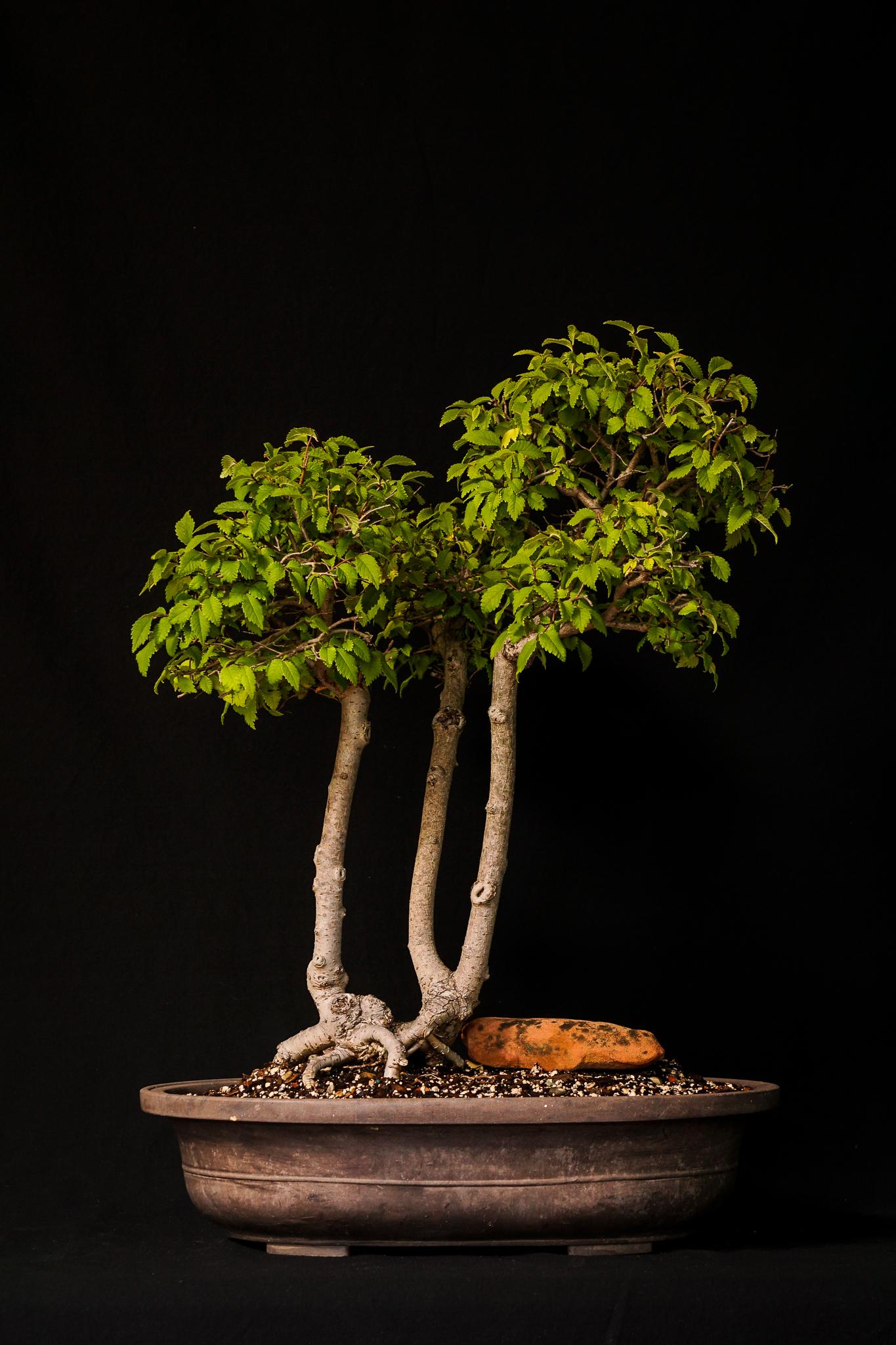 Smooth Leaf Elm