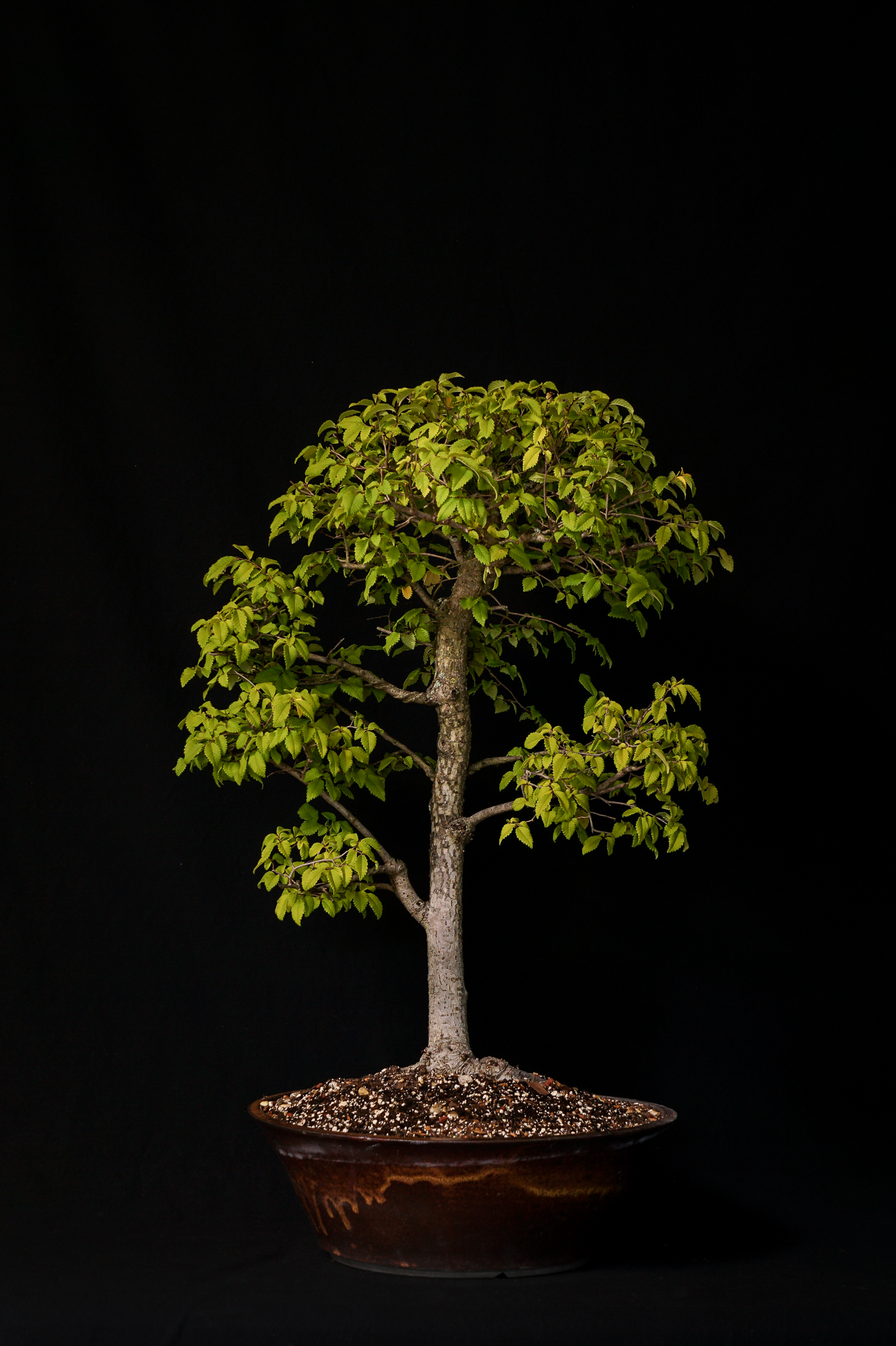 Smooth Leaf Elm