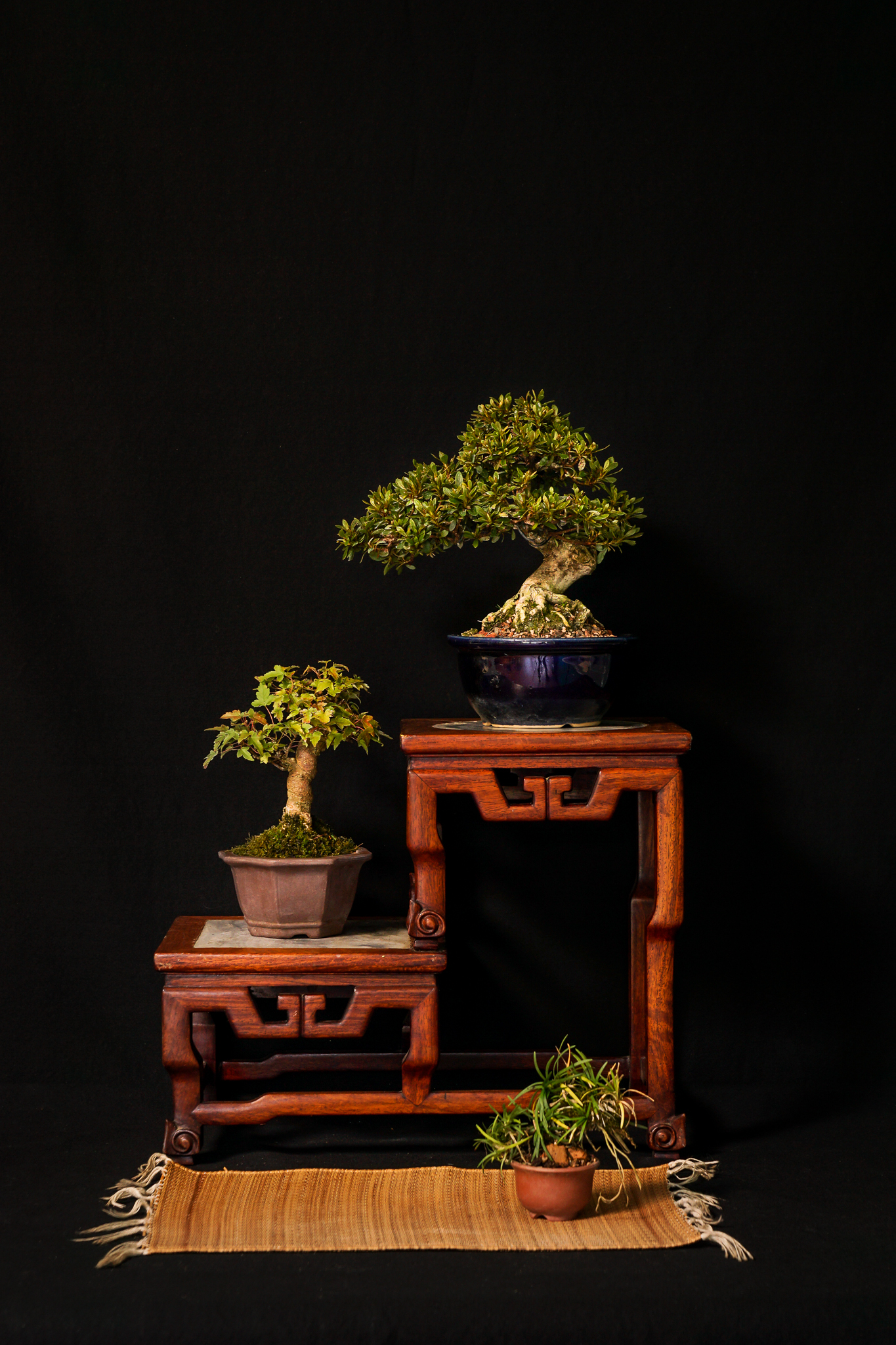 Shohin Display feat. Azalea and Trident Maple