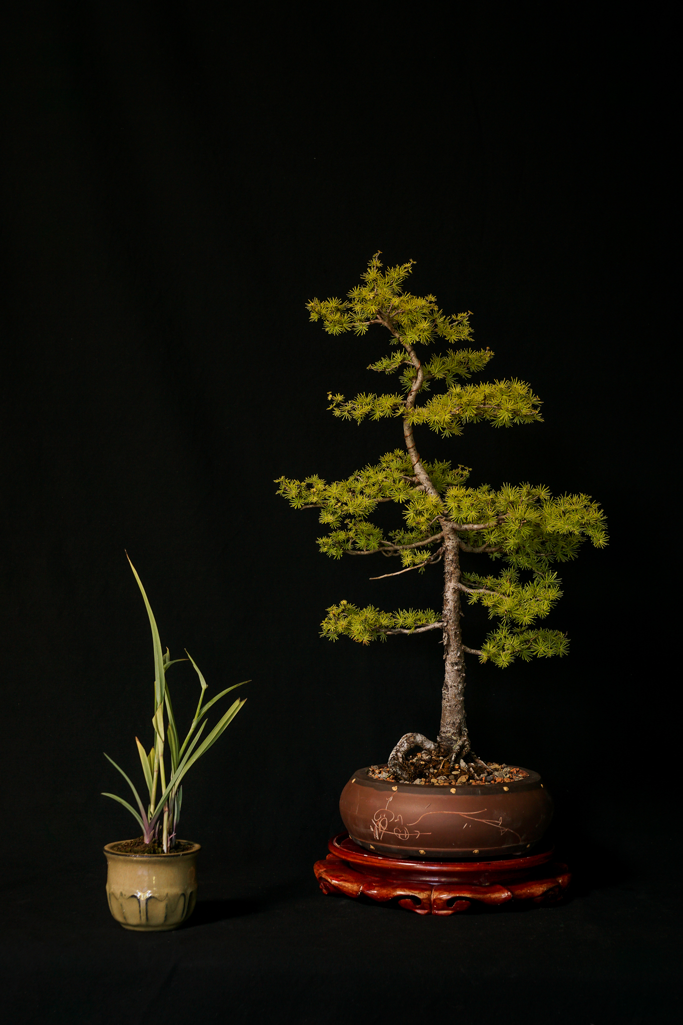 Eastern Larch