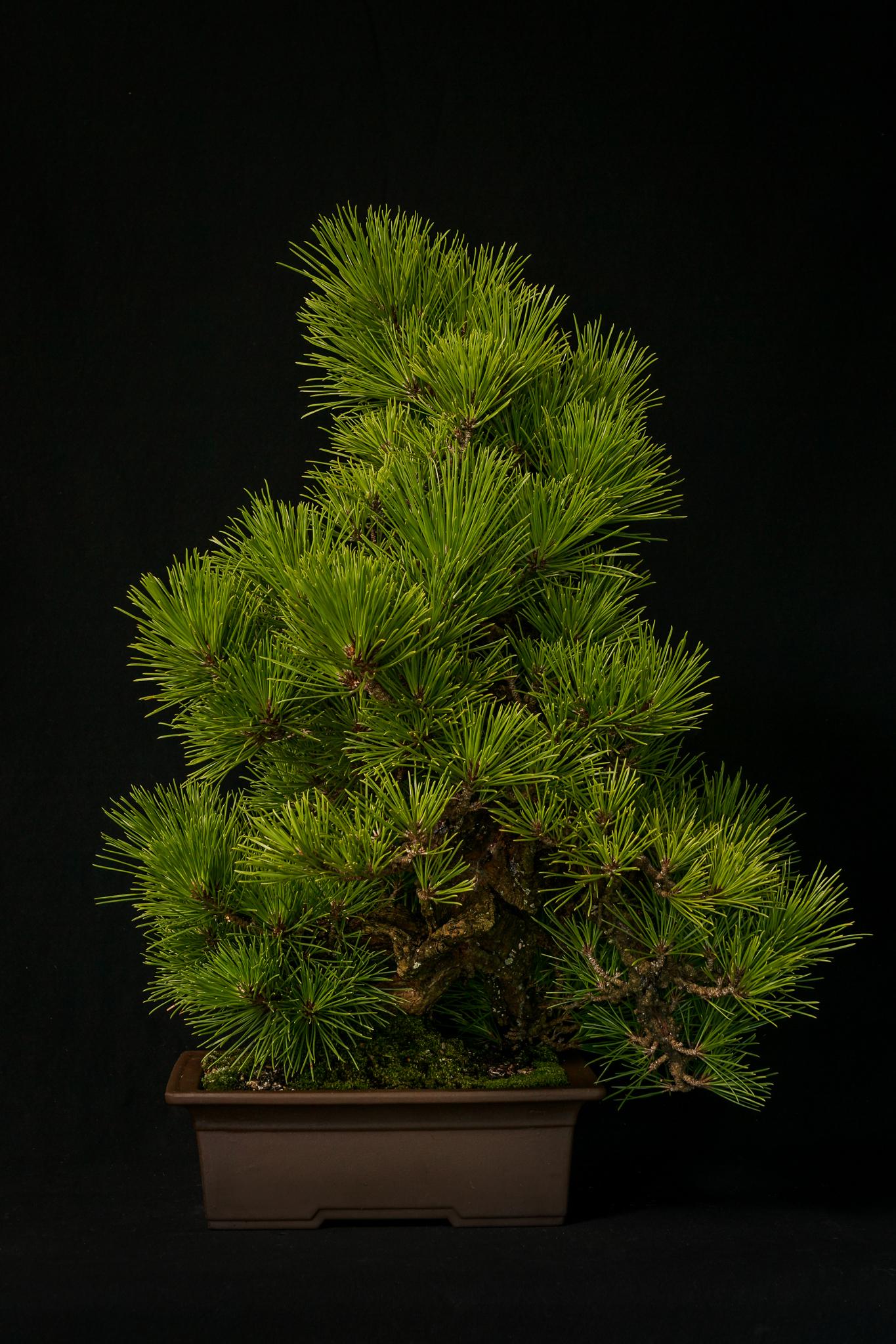 "Cork Bark Black Pine ""Niskiki Matsu"""