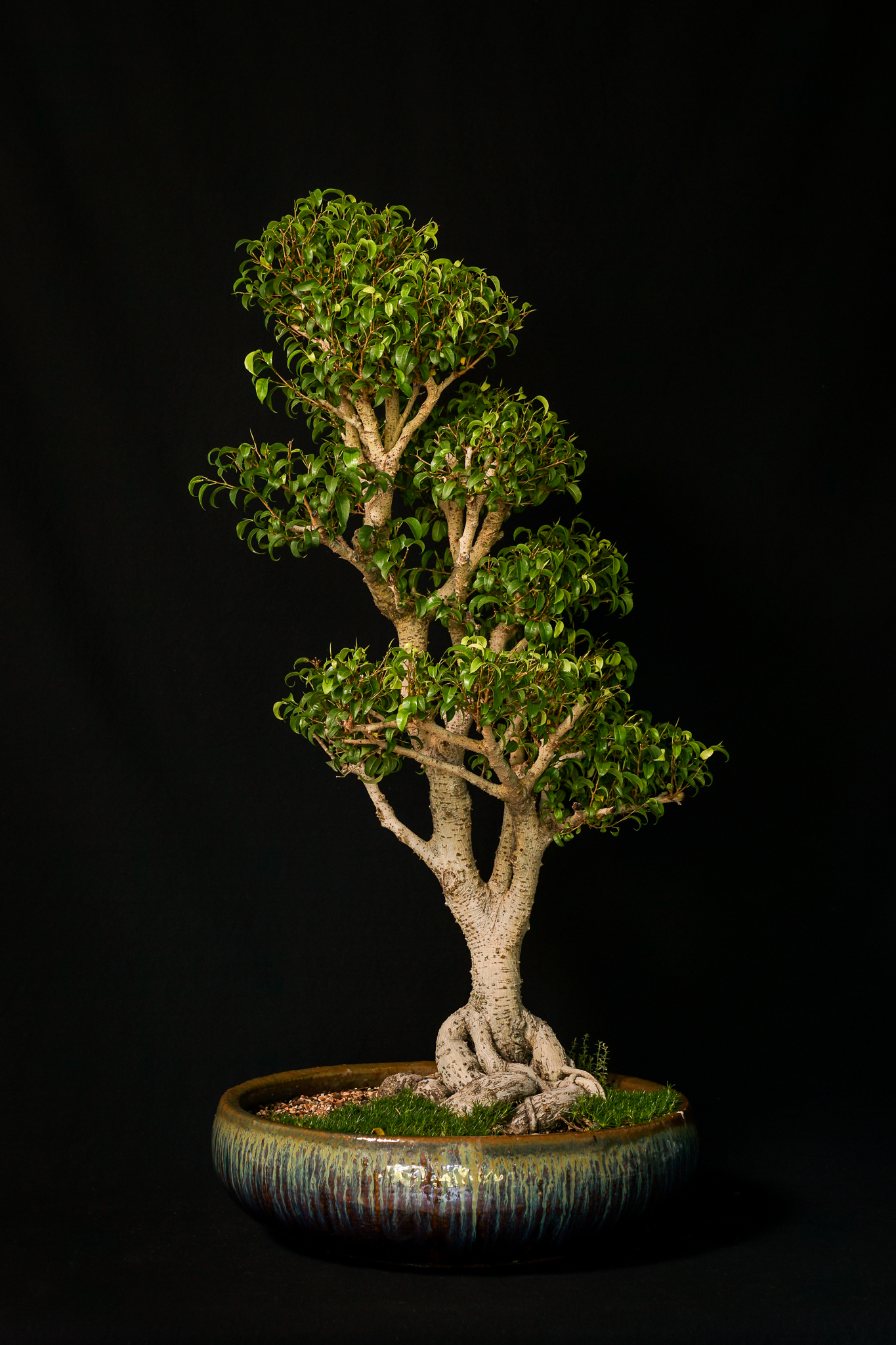 """Too Little"" Ficus"