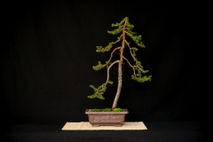Red Spruce