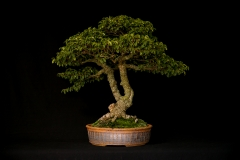 Smooth-Leaf Elm