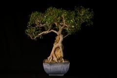 """Too Little"" Ficus"