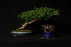 Brazillian Raintree