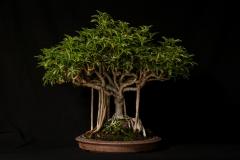 Hawaiian Shefflera