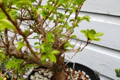 chinese-elm