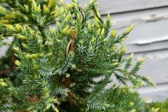 juniper-holger