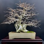 Korean Hornbeam by Judy Barto