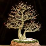 Crataegus pruinosa by David Bennett
